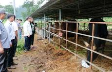 Tìm cách cứu đàn bò rừng lai