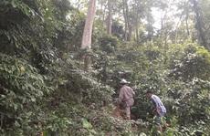 Giữ cánh rừng săng lẻ hiếm hoi