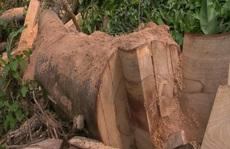 Còn phá rừng, còn thảm họa thiên tai: Rừng nguyên sinh bị rút ruột mỗi ngày