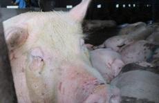 Hơn 300.000 con heo Thái Lan đã đánh tan cơn sốt giá thịt heo trong nước