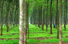 Giám đốc nông trường cao su 'khai man' để làm sổ đỏ hơn 7.800 m2 đất