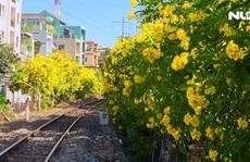 [Video] - Hoa huỳnh liên 'nhuộm vàng' nhiều tuyến đường ở TP HCM