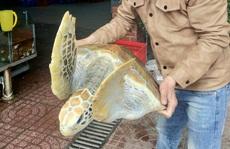 Chủ nhà hàng mua rùa biển quý hiếm nặng 30 kg để thả về biển