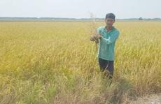 Dân lấy nước mặn, hơn 700 ha lúa ngắc ngoải