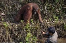 'Cứu vật, vật trả ơn': đười ươi vươn tay muốn kéo  người đàn ông dưới bùn