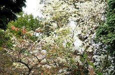 Mùa hoa sưa