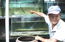CLIP: Cụ ông 83 tuổi tiết lộ sở thích chơi cá lia thia gần 70 năm