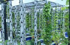 Vườn rau thẳng đứng trên sân thượng