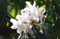 Mê mẩn ngắm 'nữ hoàng của các loài hoa' trên đỉnh K'lang