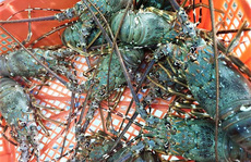Nhà hàng hạ giá tôm hùm xanh 169.000 đồng/con, tôm Alaska 700.000 đồng/kg