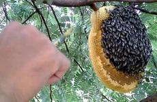 Rừng ở Cà Mau bị cháy do người dân trộm mật ong