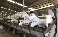 Ngắm đàn dê trắng tuyệt đẹp, lớn nhất Việt Nam