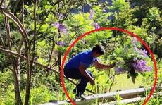 Người đàn ông bẻ hoa phượng tím tuyệt đẹp ở Đà Lạt khai gì?