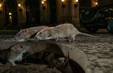 Mỹ: CDC cảnh báo chuột 'bất thường, hung dữ' do thiếu ăn trong dịch Covid-19