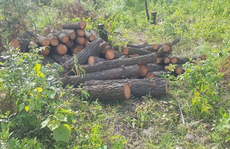 Vụ hơn 4 ha rừng phòng hộ cách trụ sở UBND xã 1 km bị chặt phá: Công an vào cuộc điều tra