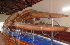 Làng chài lưu giữ bộ xương cá Voi lớn nhất Đông Nam Á