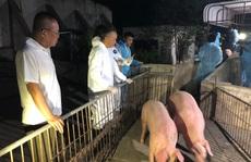 Heo Thái Lan vừa tới cửa khẩu đã gặp 'sự cố'