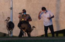 Cách ly Covid-19, tổng thống Brazil lại gặp 'họa đà điểu'