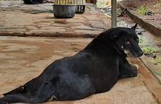 Hai con báo đen xuất hiện gần khu dân cư ở Đồng Nai có thể chỉ là… chó lai!