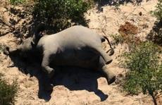 Hơn 350 con voi chết bí ẩn ở Nam châu Phi