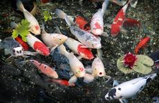 Đà Nẵng: Hai thanh niên trộm đàn cá Koi gần trăm triệu đồng, nấu làm mồi nhậu