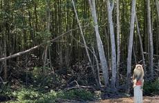 Cây ngoại lai dần 'tấn công' sâu vào rừng ngập mặn Cần Giờ