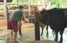 Bắt quả tang lò mổ bơm nước vào bò khi giết mổ