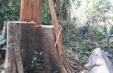 Truy tìm người trồng cây trên đất rừng bị phá