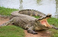 UBND quận 12 cảnh báo cá sấu xuất hiện trên sông Sài Gòn