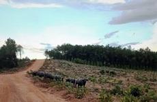 Đàn trâu hoang rượt người, phá 17 ha rừng: Phường kiểm tra nhưng… chưa thấy