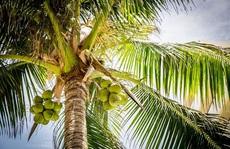 Người đàn ông mình treo lủng lẳng, đầu kẹt trên cây dừa 4 m cần giúp đỡ