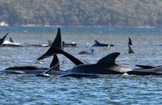 Hơn 380 con cá voi chết trong vụ mắc cạn lớn nhất thế giới ở Úc