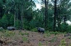 Quảng Trị: Đàn trâu hoang rượt đuổi người dân, phá 17 ha rừng trồng