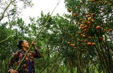 Lai Vung: Thêm 1 mùa quýt buồn