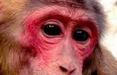 Khỉ mặt đỏ 'đại náo' khu dân cư, tấn công người