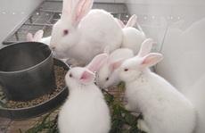 Ngắm đàn thỏ trắng, mắt đỏ chuyên phục vụ y học tuyệt đẹp