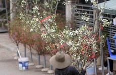Người Hà Nội mạnh tay chi tiền triệu mua hoa lê trắng, gốc xù xì chơi sau Tết