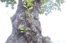Ngắm vẻ đẹp vượt thời gian của hàng cây di sản ở Côn Đảo