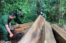 Lại phát hiện vụ phá rừng lớn, thu gần 40m3 gỗ ở Đắk Lắk