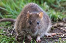 Cần Thơ chi gần 30 tỉ đồng diệt chuột: 'Không đáng là bao'?!