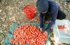 CLIP: Người dân Hà Nội bội thu cả trăm triệu đồng mùa nhót chín