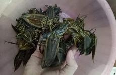 Loại côn trùng giống gián bán 3,5 triệu/kg, nhà giàu mua về hưởng thơm