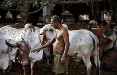 Một số người Ấn Độ chữa Covid-19 bằng 'chất thải' của bò, bác sĩ nói gì?