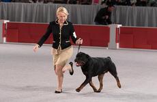Sơ lược về giống chó Rottweiler dữ tợn