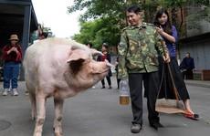 'Trư Kiên Cường' - con heo nổi tiếng nhất Trung Quốc qua đời