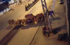 Đàn voi lang thang tàn phá và uống rượu say gây thiệt hại hơn 1 triệu USD