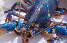 Phát hiện tôm hùm xanh hai triệu con mới có một, đầu bếp nhanh tay vớt ra khỏi nồi