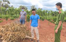 Bắt giữ thanh niên chặt phá cây trồng