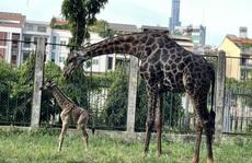 CLIP: Sau 3 năm, cặp hươu cao cổ tại Thảo Cầm Viên Sài Gòn lại sinh con