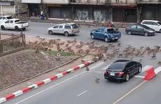 Thái Lan: Tài xế sốc trước hàng trăm con khỉ ẩu đả giữa đường